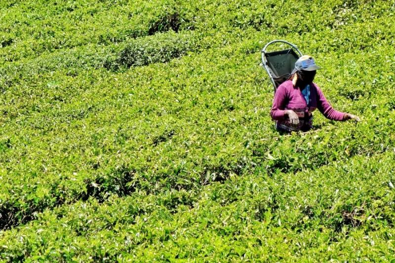 Pedro tea plantation
